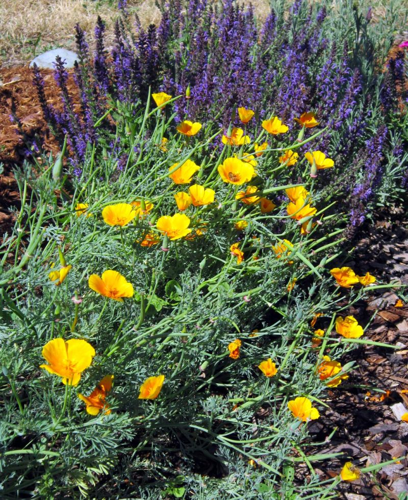 Poppies-and-salvia-6_10