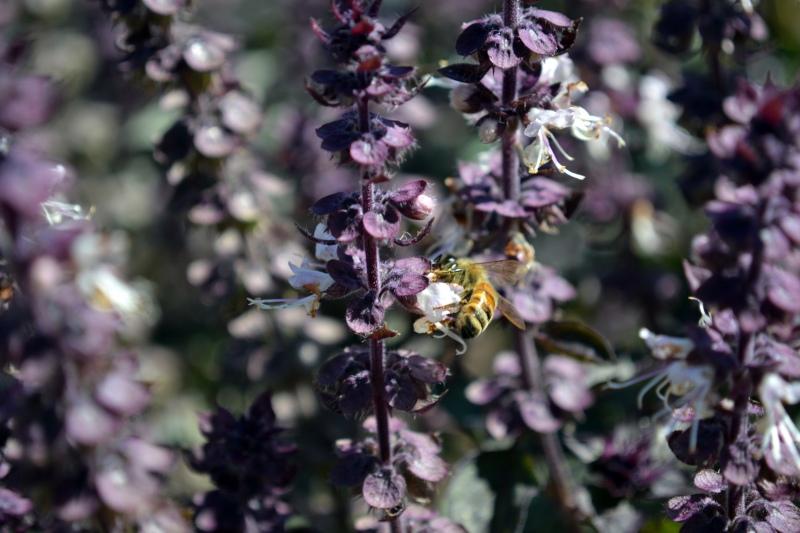 Bee-Basil-9_12