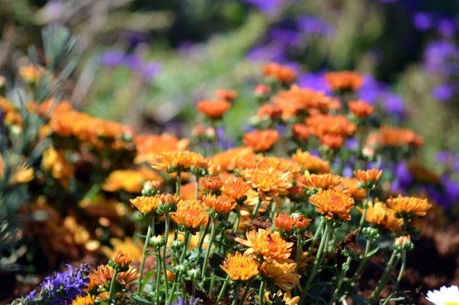 Chrysanthemum2-9_12