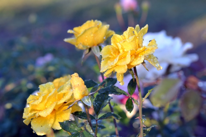 Roses-with-Dew