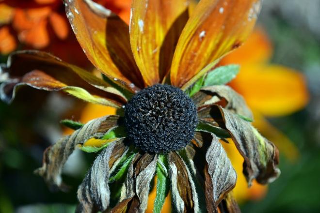 Sunflower-Faded