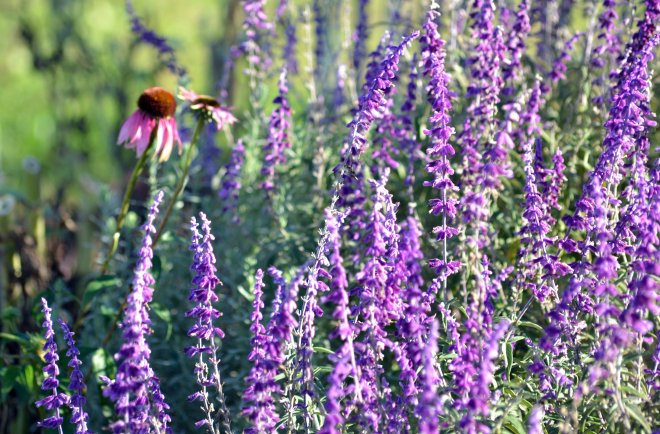 Mexican-Sage-Coneflower_11