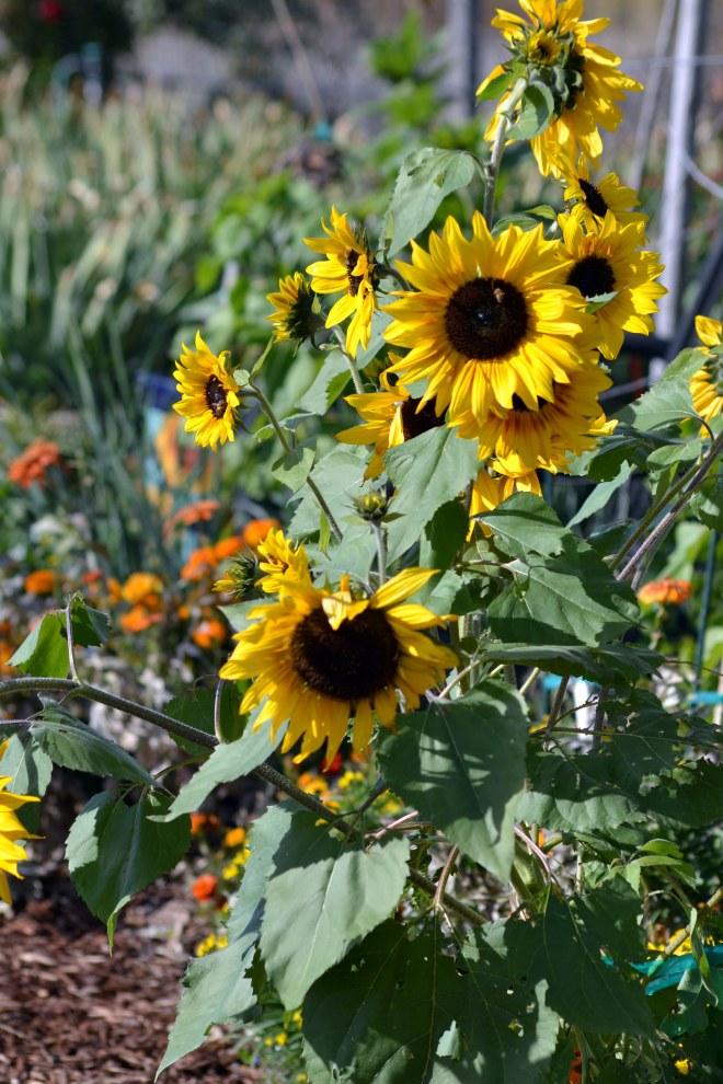 Sunflowers_11