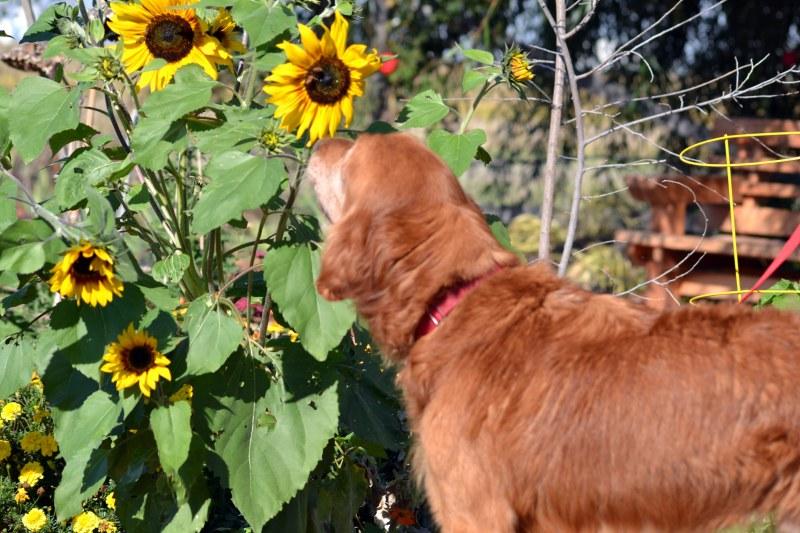 Sunflowers_Bones_November