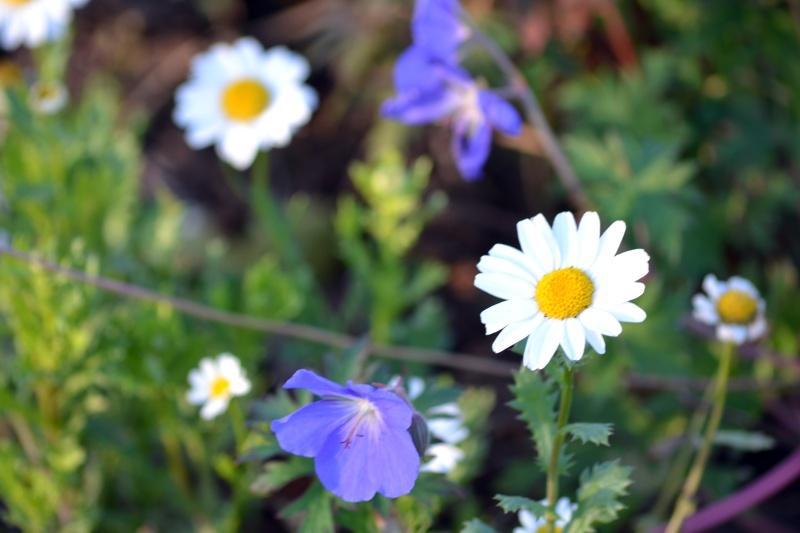 Blue_geranium_12