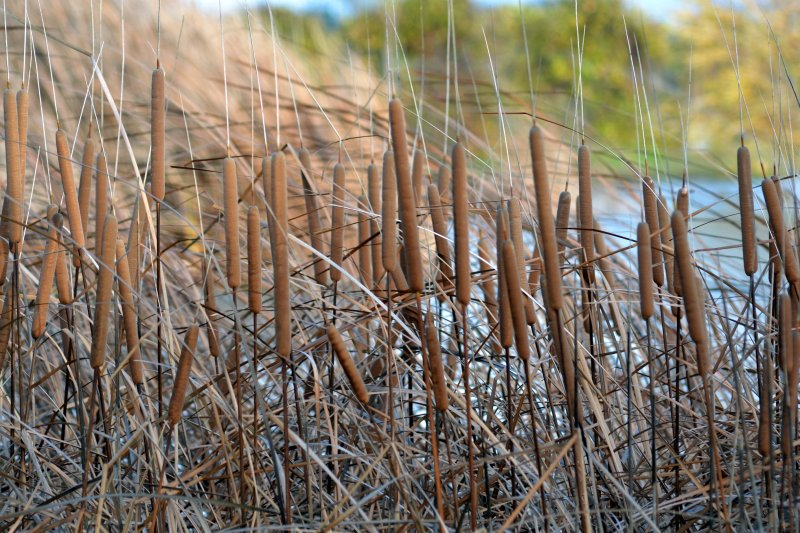Cattails_12