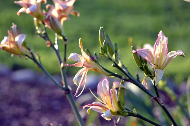 Daylilies_Bloom_12