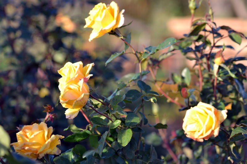 Roses_Yellow_12