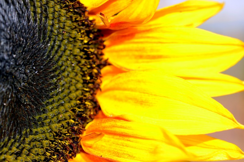 Sunflower-Detail-_12