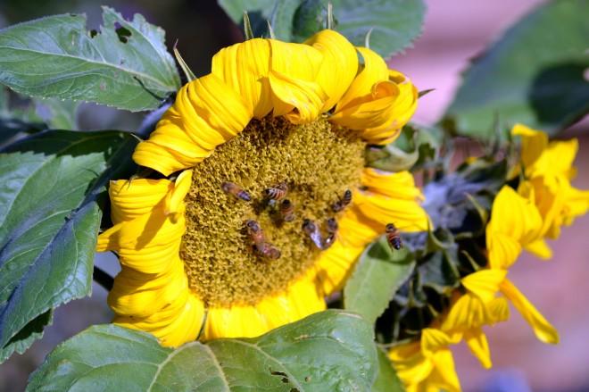 Sunflower1_12