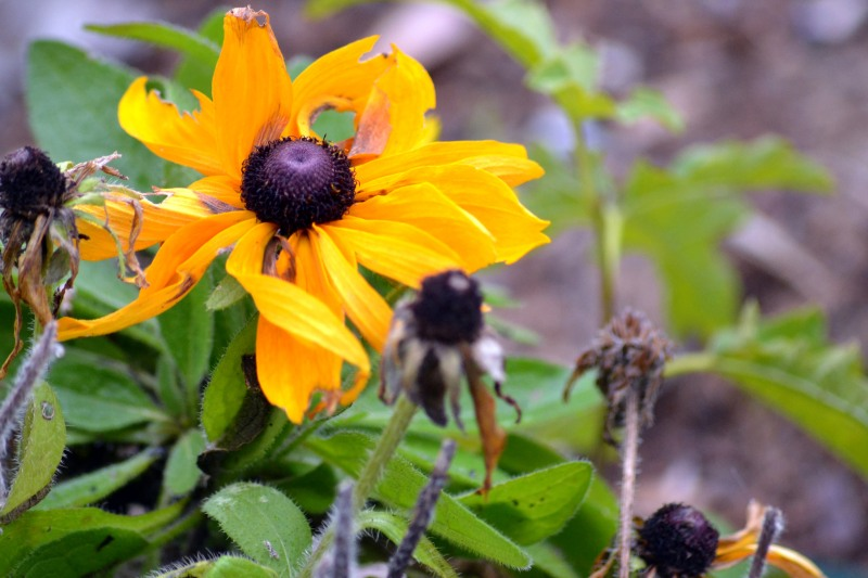 Winter-Black-Eyed-Susan