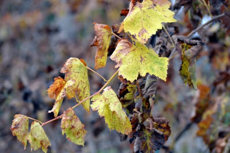 Winter-Grape-Leaves2