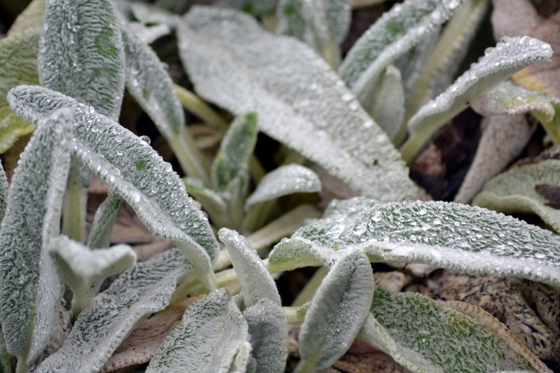 Winter-Lamb's-Ear-2