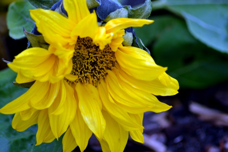 Winter-Sunflower2