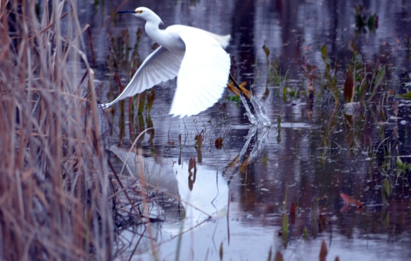 Egret_Flight_1_13