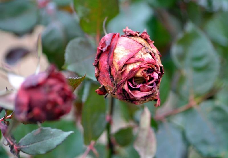 Rose_Frost_Bitten2