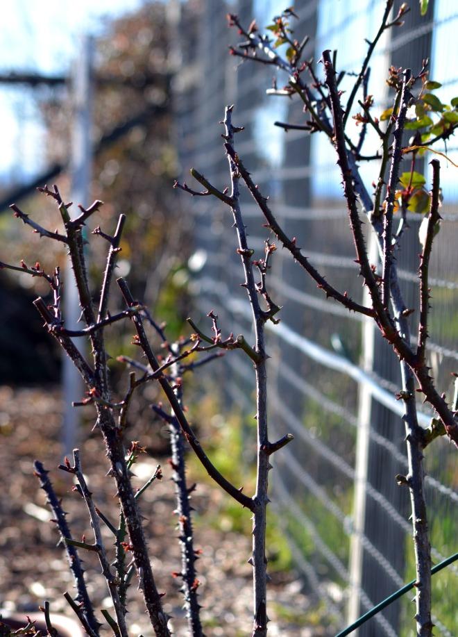 Roses-Shrub-Prune-1_13