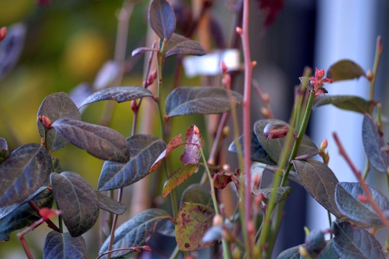 Highbush-Blueberries-2_2_13