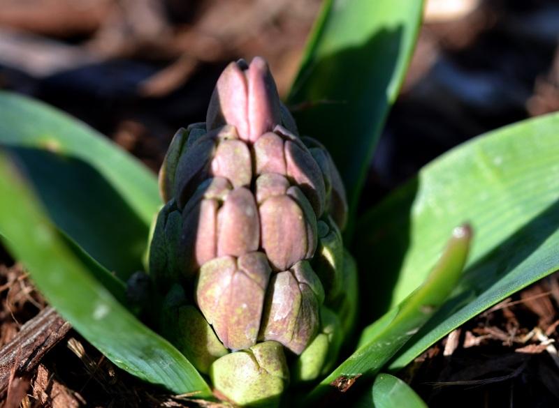 Hyacinth2_2_13