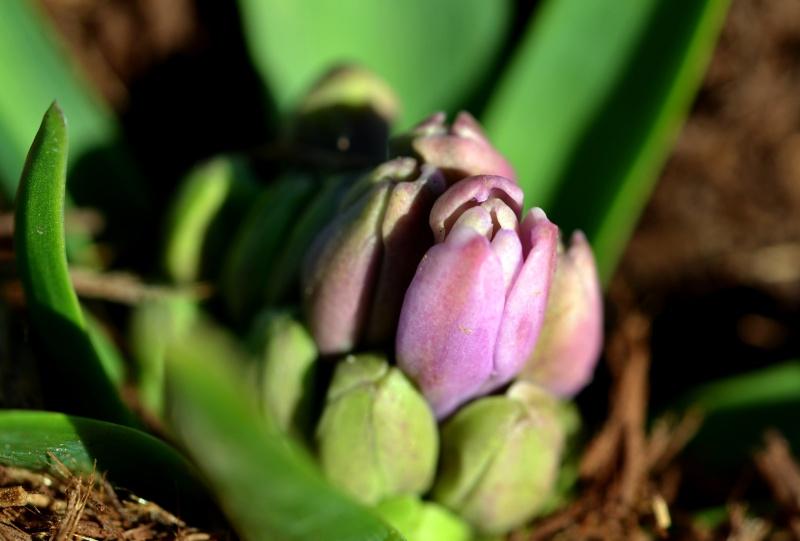 Hyacinth3_2_13
