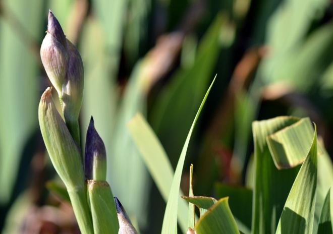 Iris-Bud-2_13