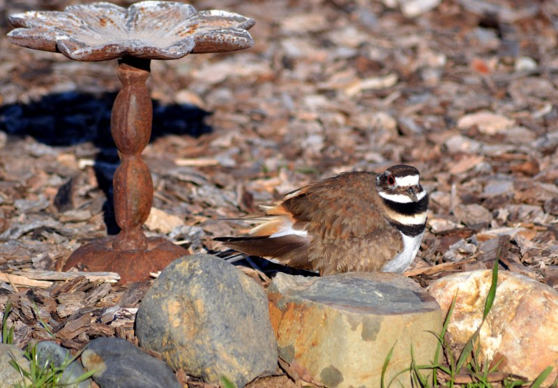 Killdeer3_2_13
