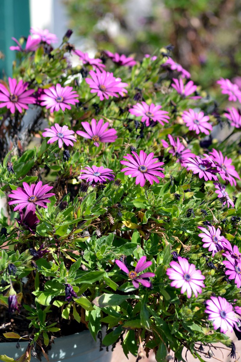 African-Daisy-Early-Spring