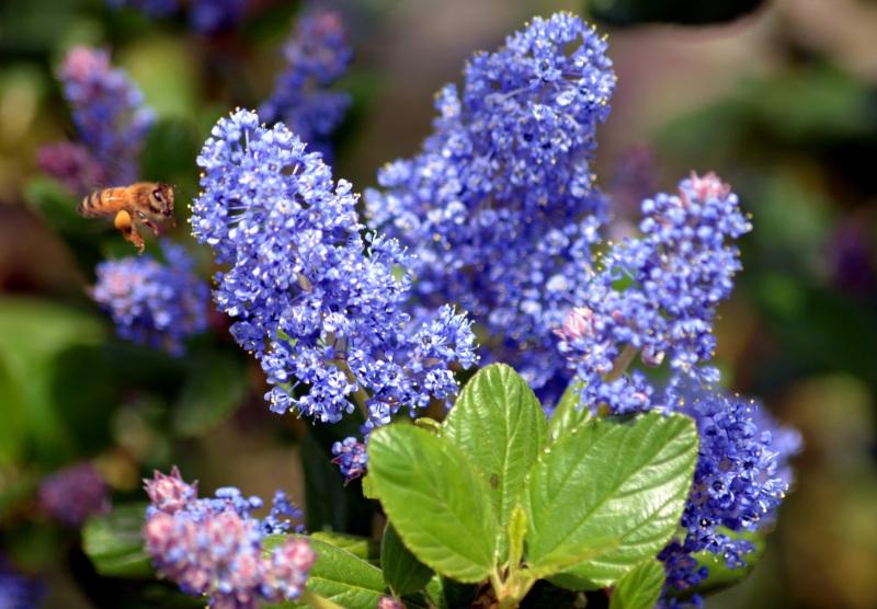 California-Lilac-Bee1_3_13