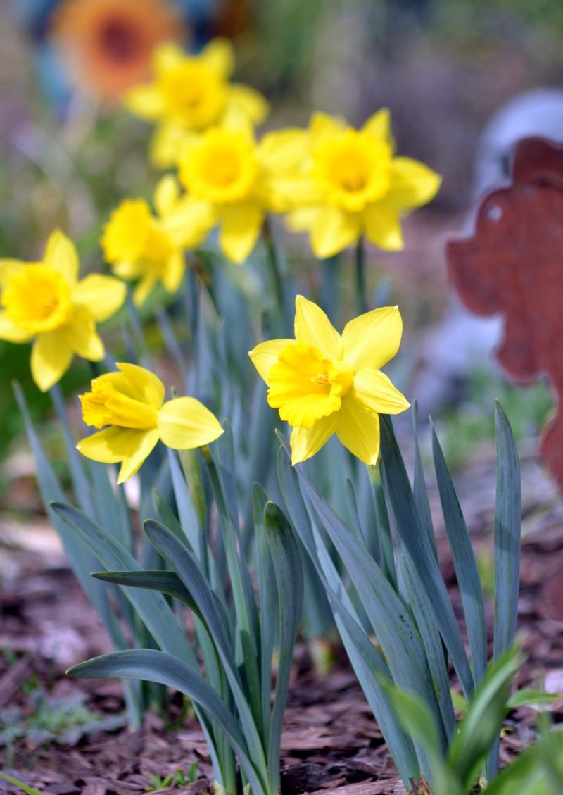 Daffodil1_3_13