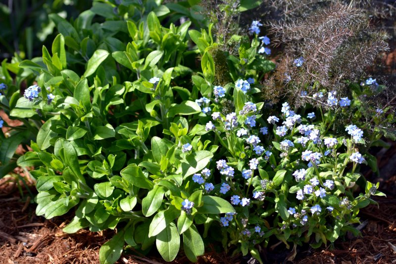 Forget-Me-Not-Early-Spring