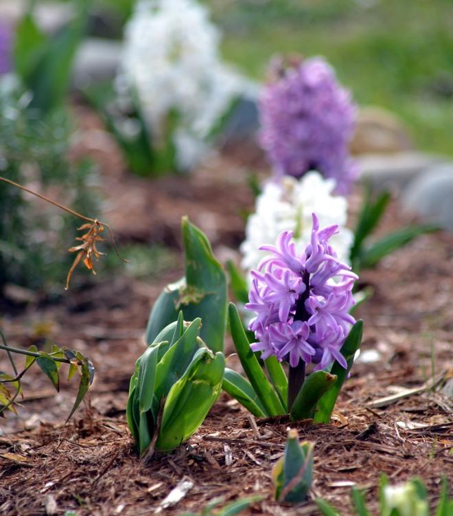 Hyacinth1_3_13