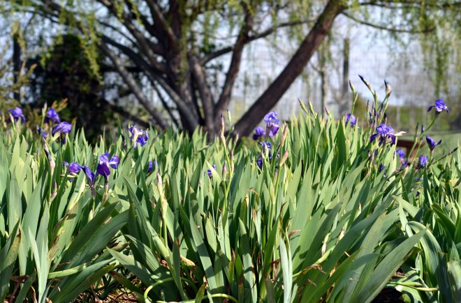 Iris-Early-Spring2