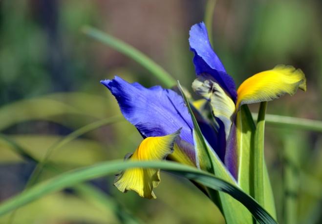 Iris-Early-Spring3