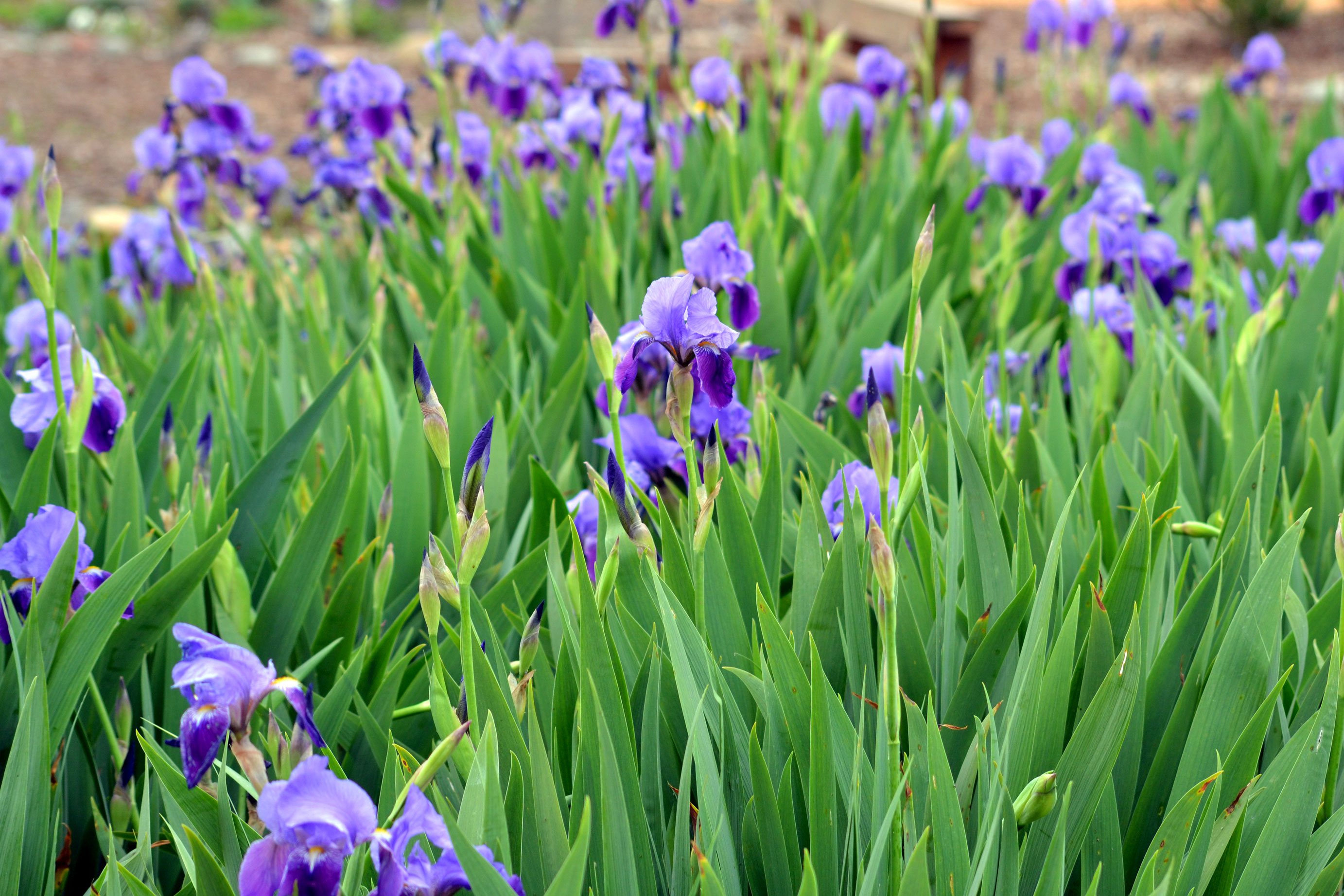 The language of flowers: Iris | Gardens For Goldens: https://gardensforgoldens.com/2013/04/20/the-language-of-flowers-iris/