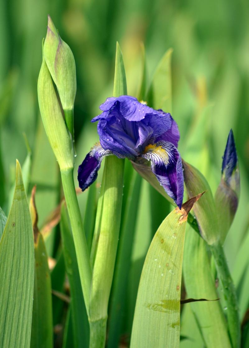 Iris1_3_13