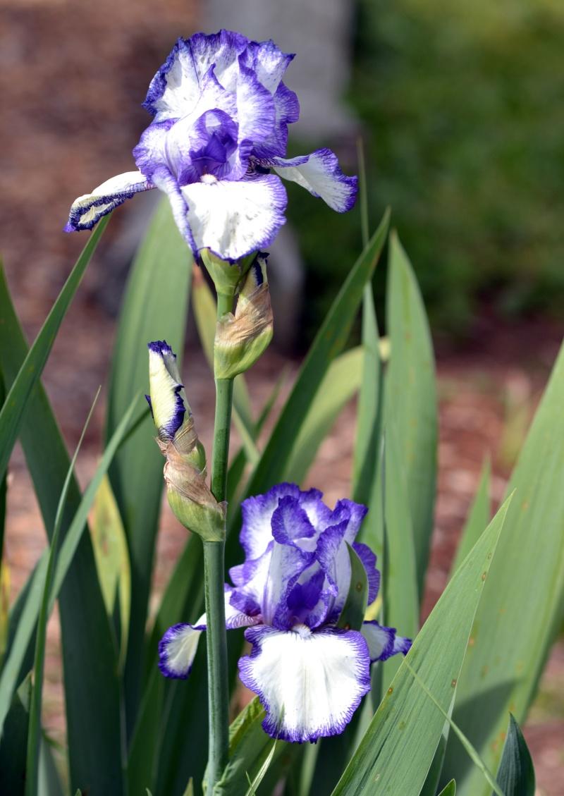 Iris3_3_13