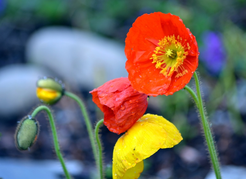 Oriental-Poppies1_3_13