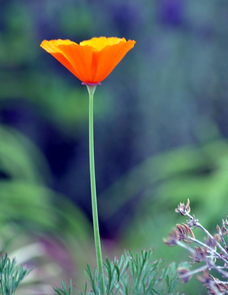Poppy1_3_13