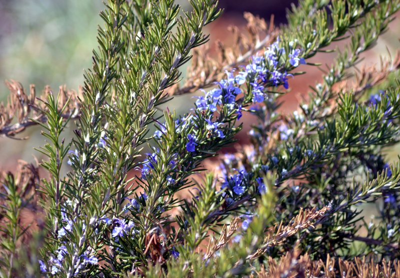 Rosemary-Early-Spring