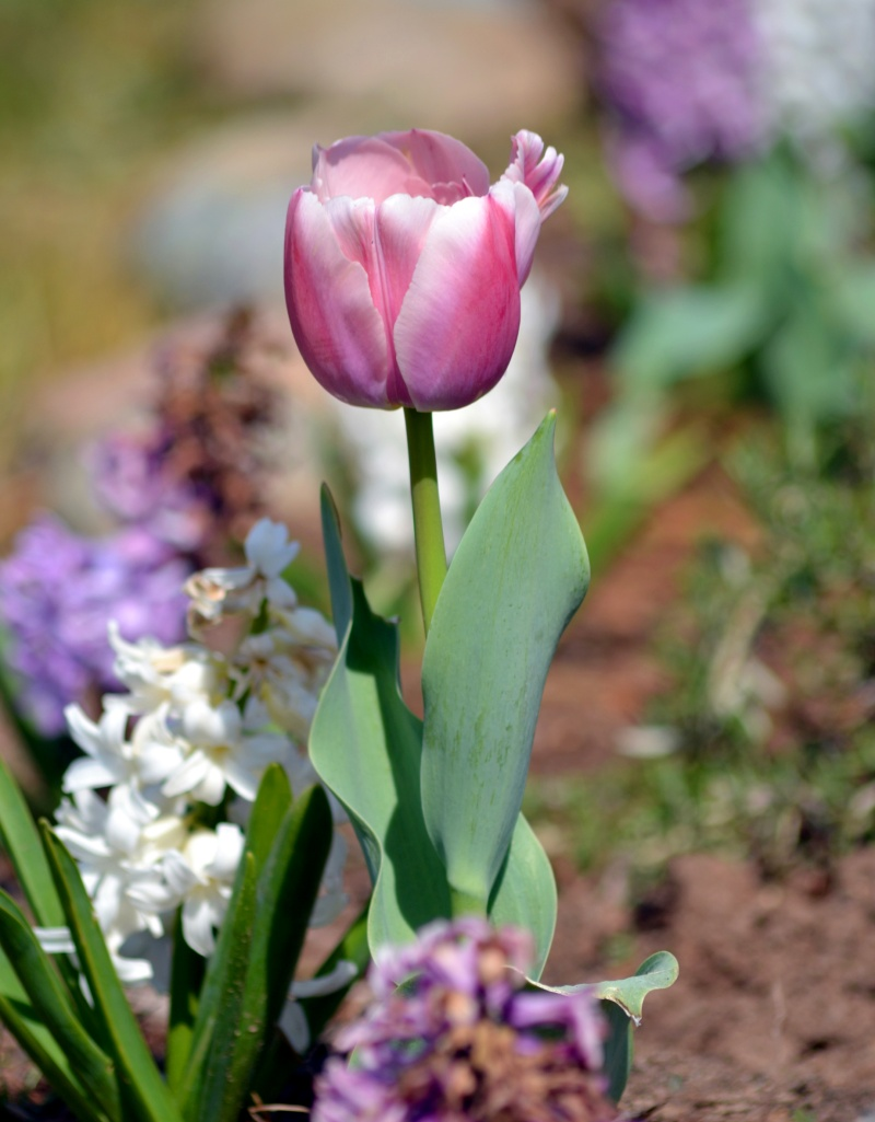 Tulip-and-Hyacinth-Early-Spring