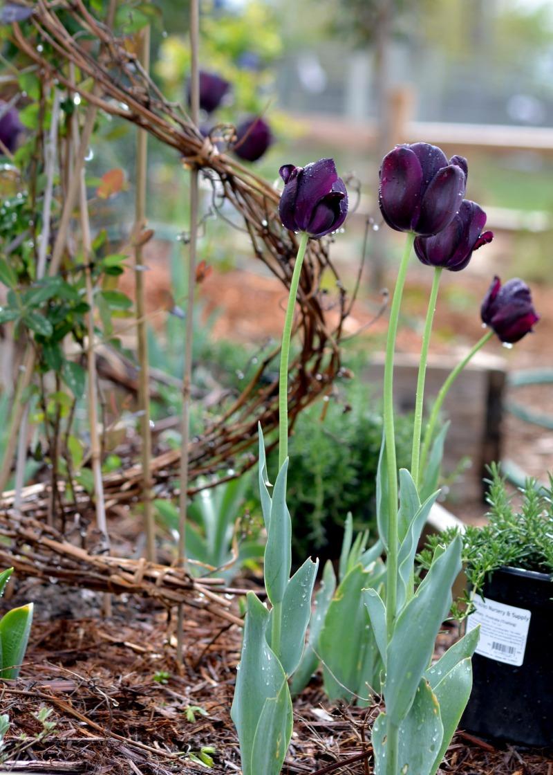 Tulip-Honeysuckle2