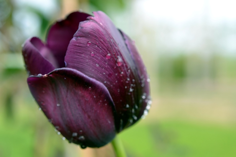 Tulip-Purple