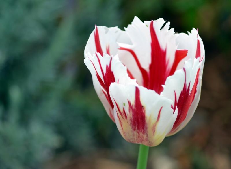 Tulip-white-red
