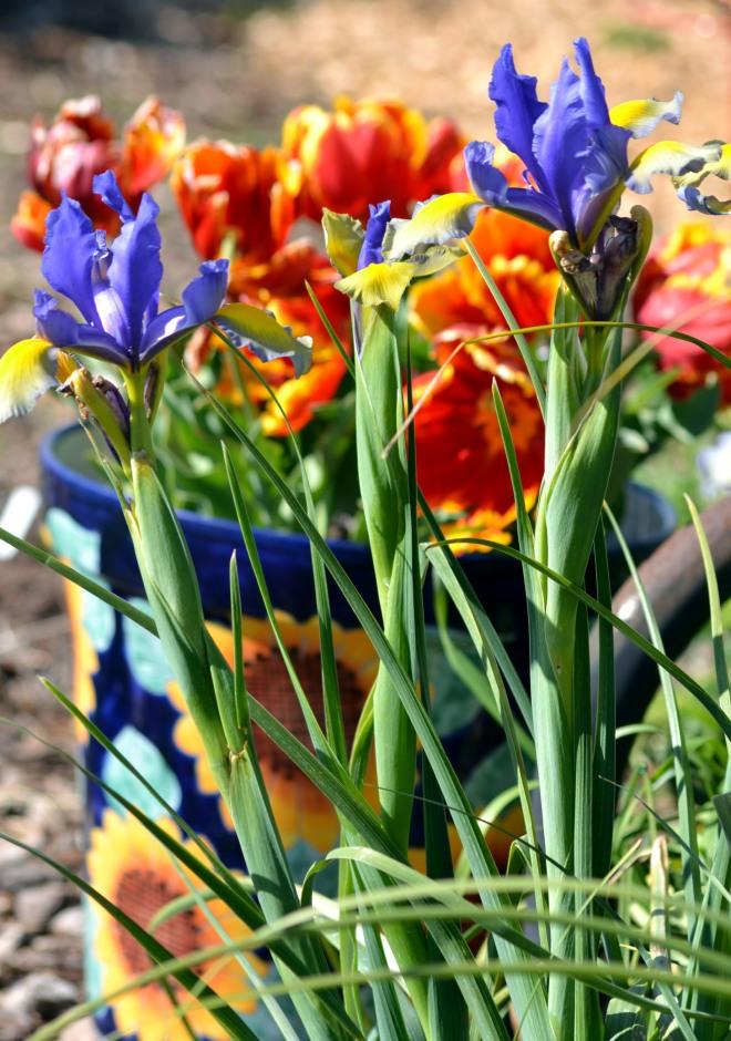 Tulips-Iris-2_3_13