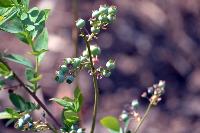 Blueberries-1_4_13