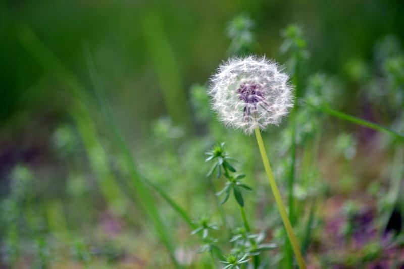 Dandelion-Seed