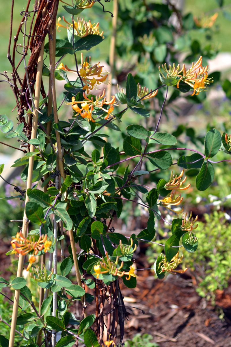 Honeysuckle-Blooming-1_4_13