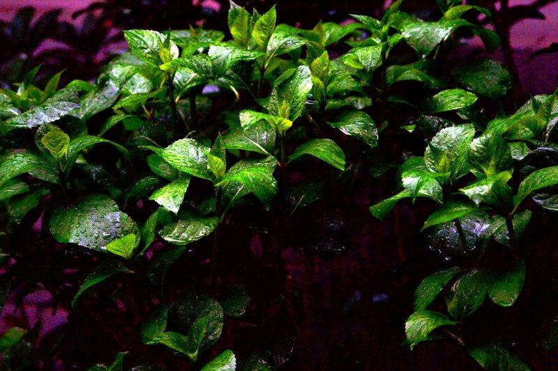 Hydrangea_rain