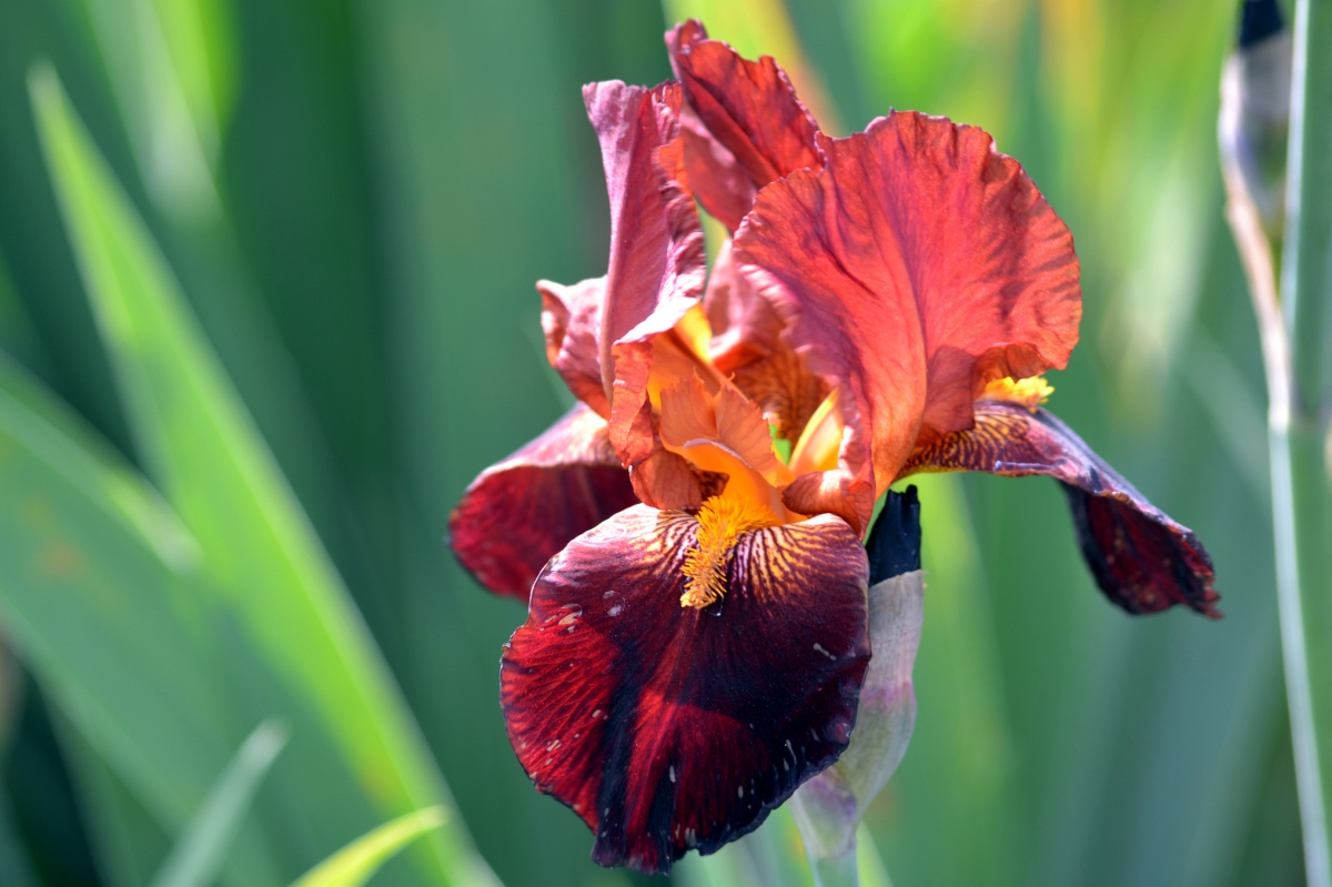 The Language Of Flowers Iris Gardens For Goldens
