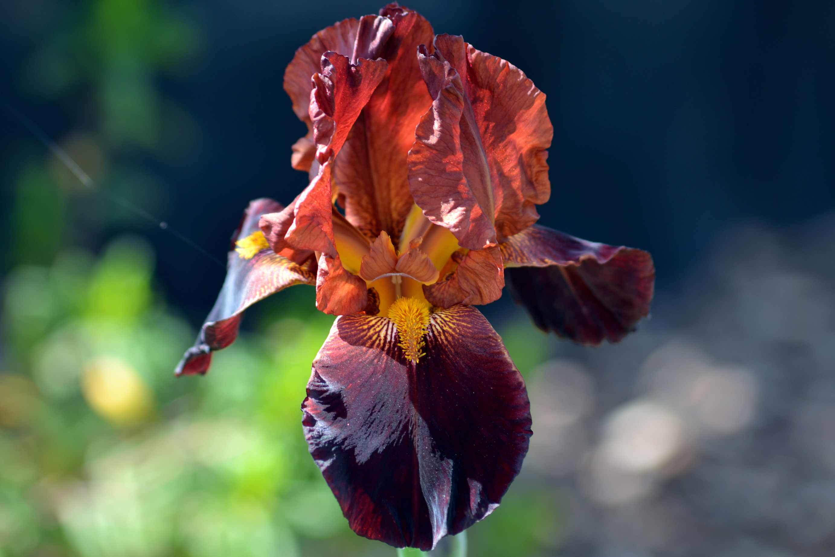 The language of flowers iris gardens for goldens iris rust 413 izmirmasajfo